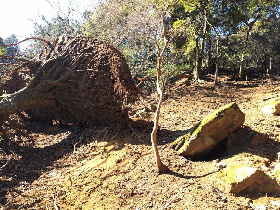 ひっくり返った巨木