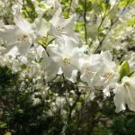 シロヤシオも咲く!東北大の植物園 青葉山は素晴らしかった