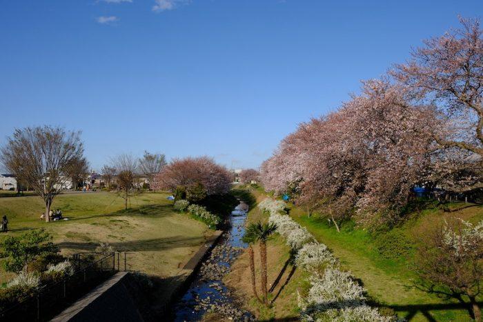 鳩川沿いの桜
