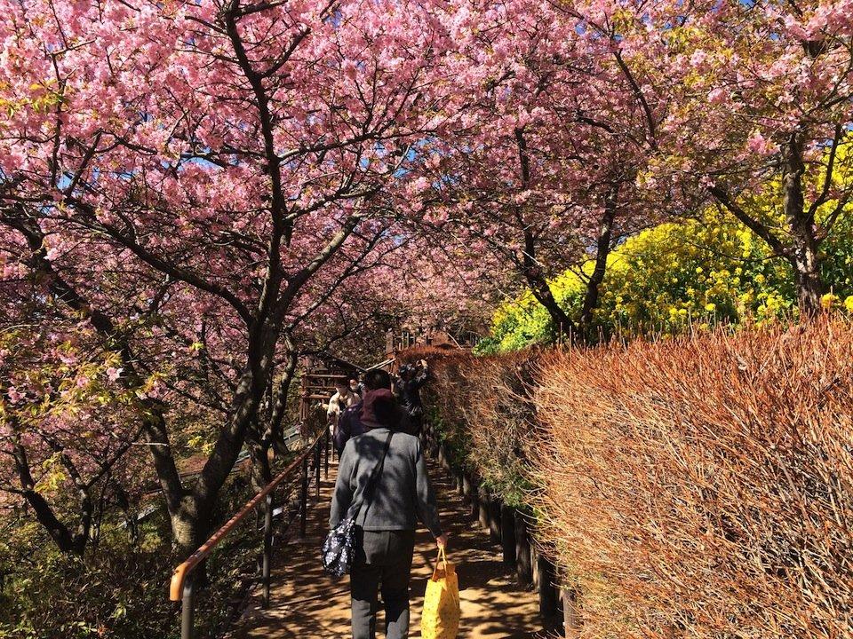 河津桜のアーチ
