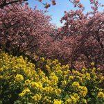 富士山と早咲き桜!まつだ桜まつりは想像以上の絶景だった!