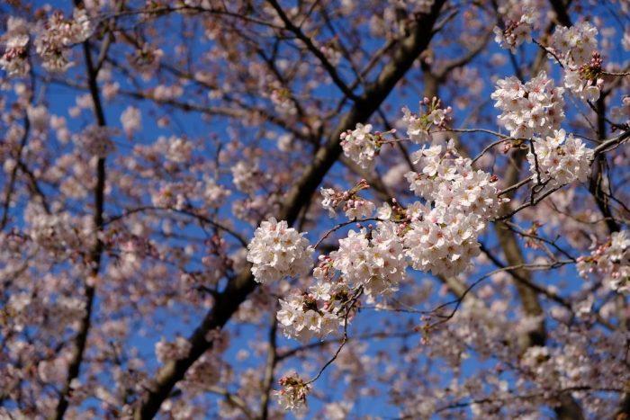相模川沿いの桜