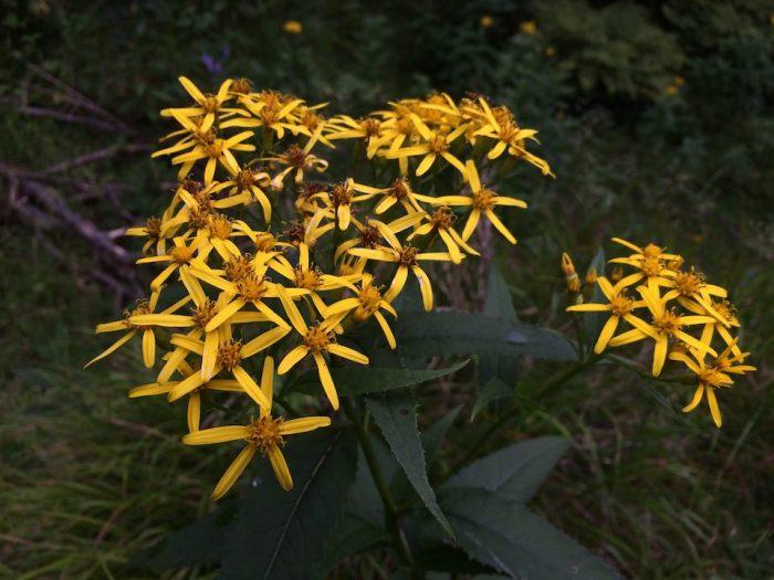 キオンの花