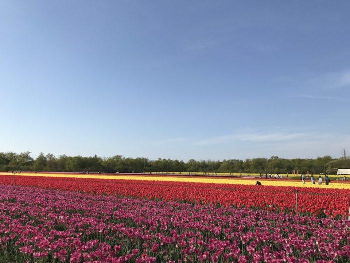 ピンク、赤、黄色のチューリップ