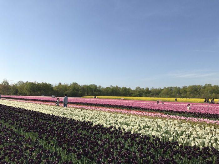 白やピンクのチューリップ畑