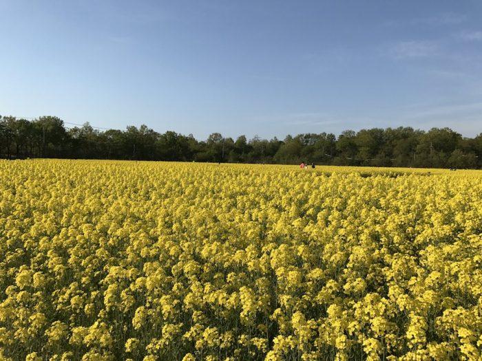 2ヘクタールの菜の花畑