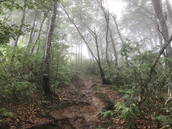 桜ゾネ登山口に続くブナ林